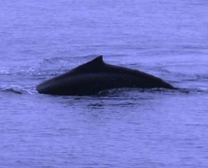 whale-breaching2